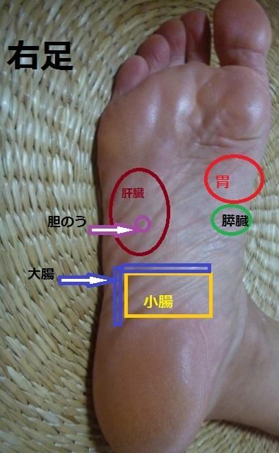 消化器官反射区 右