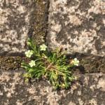 名も無き小さな『雑草の花』
